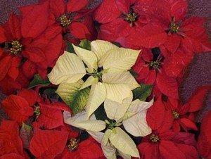 enfeites e flores de natal